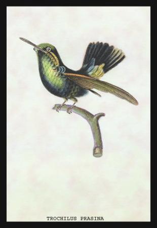 Hummingbird: Trochilus Prasina