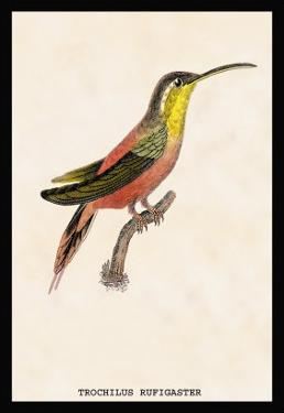 Hummingbird: Trochilus Rufigaster by Sir William Jardine