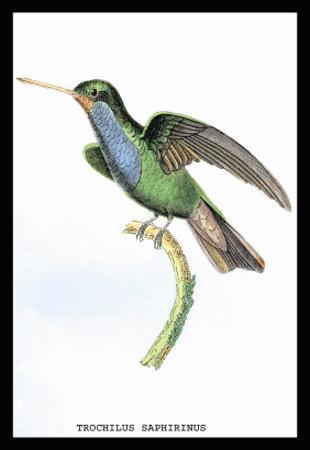 Hummingbird: Trochilus Saphirinus