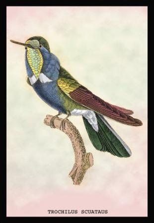 Hummingbird: Trochilus Scuataus
