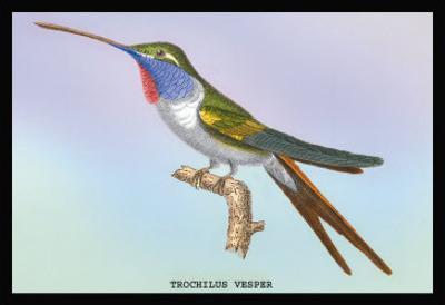 Hummingbird: Trochilus Vesper