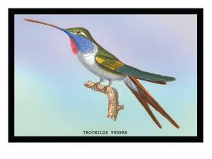 Hummingbird: Trochilus Vesper by Sir William Jardine