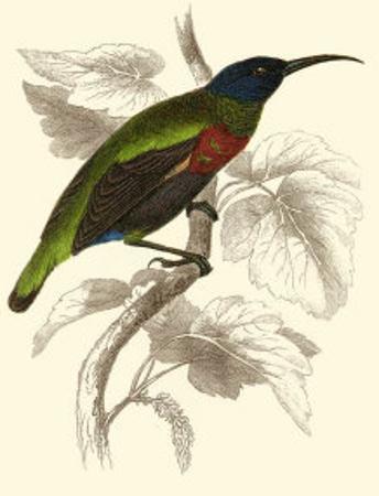 Jardine Hummingbird IV