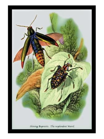 The Shining Buprestis and the Resplendent Weevil