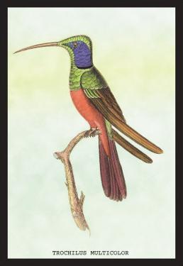 Trochilus Multicolor by Sir William Jardine