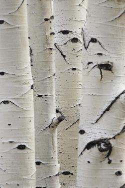 Birch Trees in a Row Close-Up of Trunks by sirtravelalot