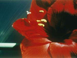 A Close-up of a Red Flower by Sisse Brimberg