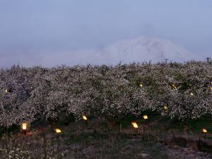 A Fruit Orchard with Smudge Fires at Twilight by Sisse Brimberg
