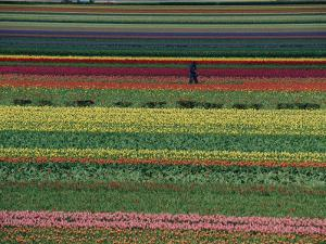 A Man Helps Tend Six Million Tulips at Keukenhof in the Netherlands by Sisse Brimberg