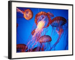 Fleet of Golden, Long-Tentacled Jellyfish, California by Sisse Brimberg