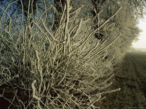 Frost-Covered Branches by Sisse Brimberg