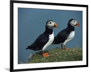 Pair of Atlantic Puffins Perch on a Grass-Covered Cliff by Sisse Brimberg