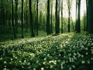 Spring Forest View with Anemones, Rugen Island in the Baltic Sea by Sisse Brimberg