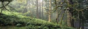 Sitka Spruce Trees in a Forest, Ecola State Park, Oregon, USA