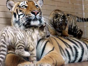 Six-Year-Old Bengal Tigress Rosi