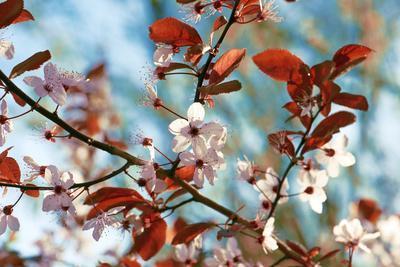 Cherry Plum Flowers in Spring