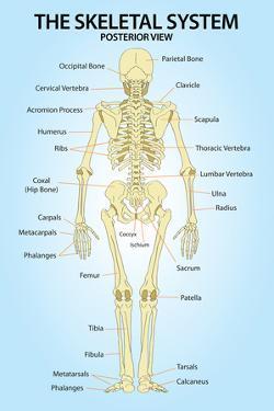 Skeletal System Posterior View Anatomy Print Poster