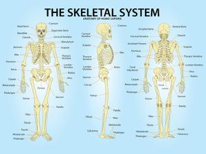 Skeletal System Triple View Anatomy Print Poster