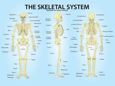 Skeletal System Triple View Anatomy Print Poster