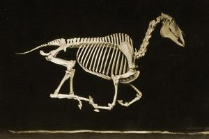 Skeleton of a Running Horse
