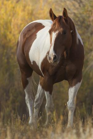 https://imgc.allpostersimages.com/img/posters/skewbald-horse-in-ranch-martinsdale-montana-usa_u-L-Q13A8FT0.jpg?p=0