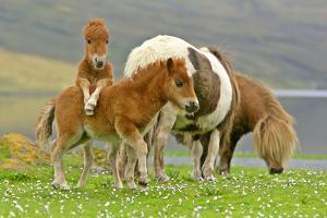 Skewbald Shetland Pony Funny Foals on Pasture