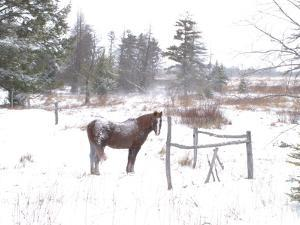 A Horse with a Dusting of Snow on His Back During a Snowstorm by Skip Brown