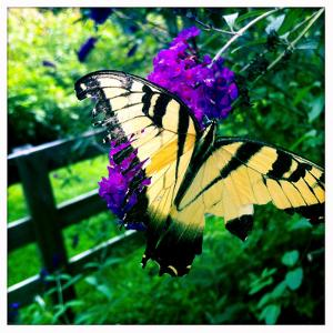 A Monarch Butterfly with Tattered Wings on a Butterfly Bush, Buddleia by Skip Brown