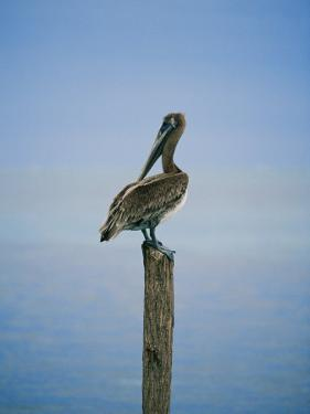 A Pelican Perches Atop a Dock Piling by Skip Brown
