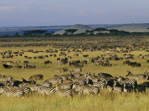 Herds of Zebra and Wildebeest on the Serengeti by Skip Brown