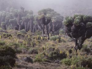 Lalibela Trees on the Slope of Mount Kilimanjaro, East Africa by Skip Brown