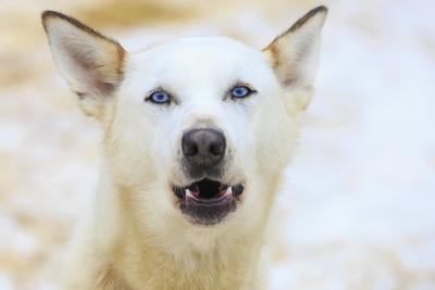 https://imgc.allpostersimages.com/img/posters/sled-dogs-near-fairbanks-alaska_u-L-Q1D0CXK0.jpg?p=0