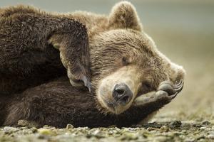 Sleeping Brown Bear, Katmai National Park, Alaska