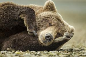 Sleeping Brown Bear, Katmai National Park, Alaska
