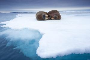 Sleeping Walruses, Svalbard, Norway
