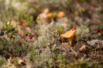 https://imgc.allpostersimages.com/img/posters/small-chanterelle-cantharellus-cibarius-growth-middle-of-lichen_u-L-Q1F2OLI0.jpg?artPerspective=n