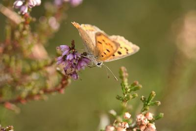 https://imgc.allpostersimages.com/img/posters/small-copper-butterfly-lycaena-phlaeas-heath-blossom-side-view-sitting_u-L-Q11YMAD0.jpg?p=0