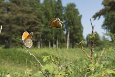 https://imgc.allpostersimages.com/img/posters/small-heath-coenonympha-pamphilus-two-males-fighting-in-habitat-aland-islands-finland-june_u-L-Q13A8UB0.jpg?p=0