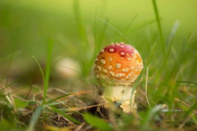 https://imgc.allpostersimages.com/img/posters/small-red-fly-agaric-in-the-middle-of-the-grass_u-L-Q1EXTQV0.jpg?artPerspective=n