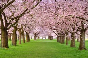Cherry Blossoms Plenitude by Smileus