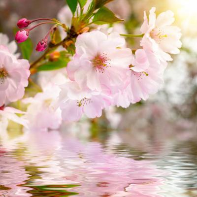 Cherry Blossoms with Reflection on Water