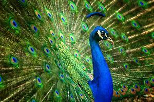 Fascinating Peacock by Smileus