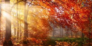 Autumn in the Forest, Sunrays Fall Through Mist and a Beautiful Red Tree by Smileus Images