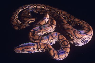 Snake, Rainbow Boa