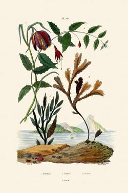 Snake's Head Fritillary, 1833-39