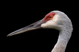 Sandhill Crane by SNEHITDESIGN