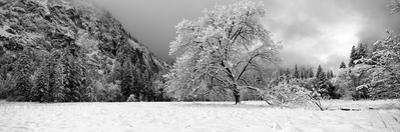 Snow Covered Oak Tree in a Valley, Yosemite National Park, California, USA