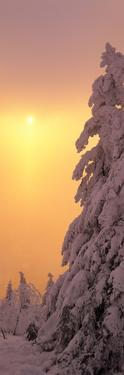 Snow Covered Tree in Winter at Sunset, Feldberg Mountain, Black Forest, Baden-Wurttemberg, Germany