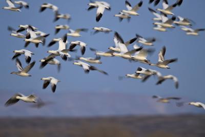 https://imgc.allpostersimages.com/img/posters/snow-goose-chen-caerulescens-flock-in-flight_u-L-PWFE2V0.jpg?p=0