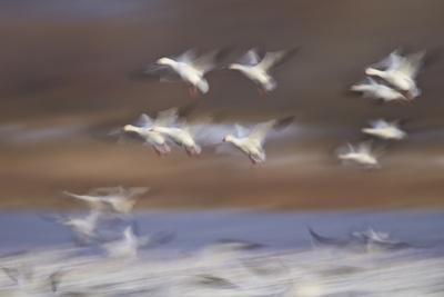 https://imgc.allpostersimages.com/img/posters/snow-goose-chen-caerulescens-flock-in-flight_u-L-PWFI4B0.jpg?p=0
